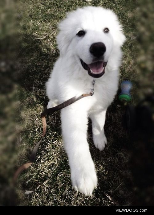 Bo, Great Pyrenees Puppy