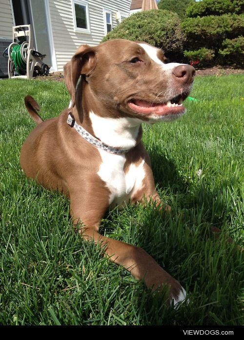 I'm Misty, a 3 year old pitbull mix with a passion for chasing…