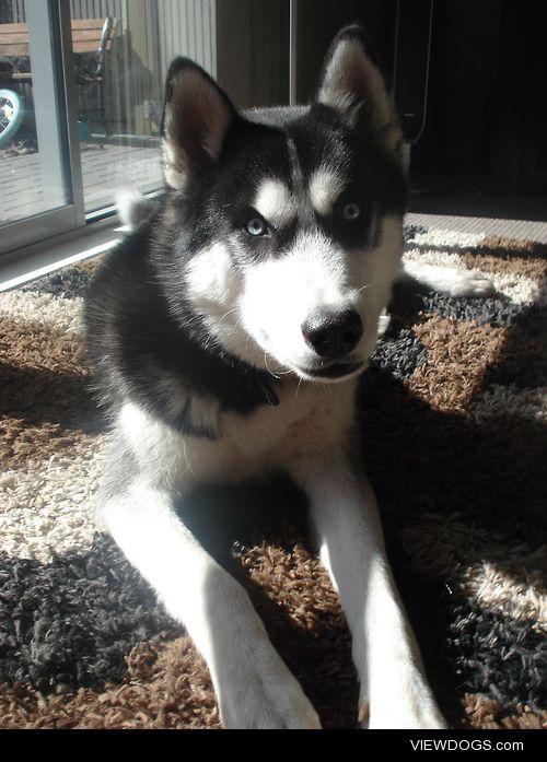 Shadow, 4 year old, Pure-bred Siberian Husky, New Zealand