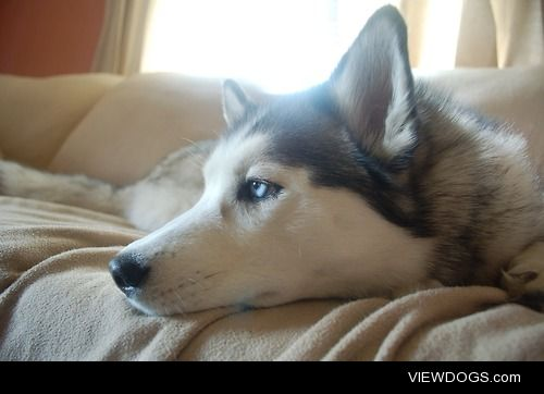 This is Isis, my 2 year old Siberian husky. She loves to give me…