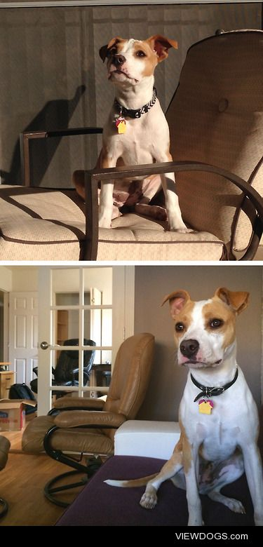 My name is Captain, I'm a 10 month old pit bull mix and I grow…