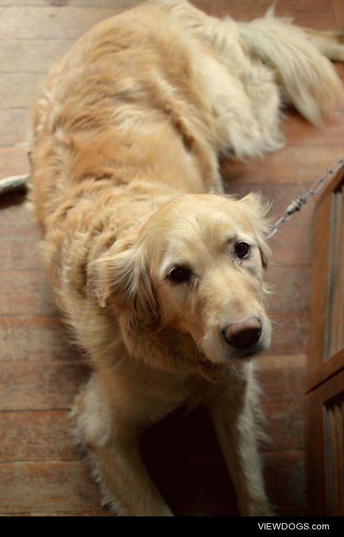 this is lucie! we were told she's a purebred golden retriever…