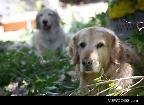 My two beautiful golden retrievers rescued all the way from…
