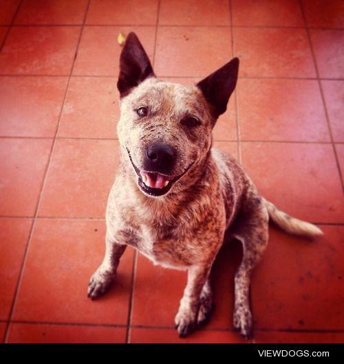 This handsome little man is Diesel, staffy x Australian Cattle…
