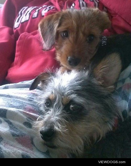 Buddha (6 month old dachshund/yorkie mix) and Buckeye (3 year…