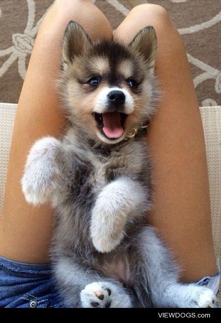 lolcuteanimals:  Cute happy husky puppy.