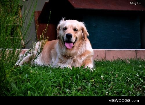This is Daisy. The love of my life. Golden Retriever. She likes…