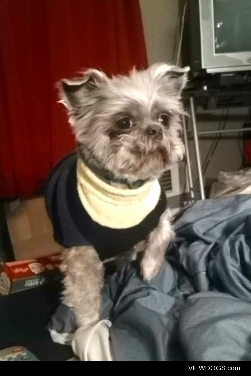 Say hello to my boy Gizmo. He's a Brussels Griffon that doesn't…