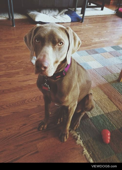 This  beautiful girl is Bailey. She's a Weimaraner and almost 2…