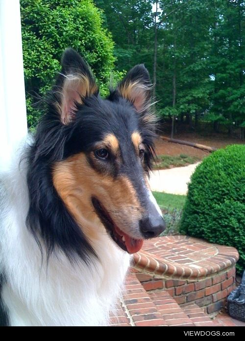 Annabelle, a beautiful nine-year-old tricolor Collie enjoying…