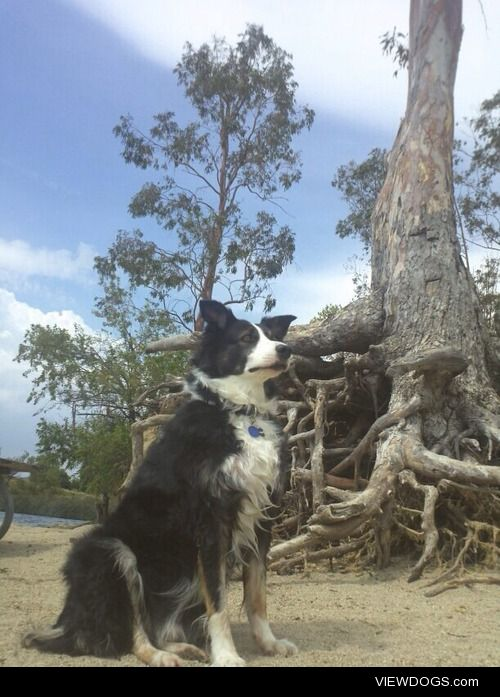 This is my Border Collie, Oliver. He's a smart and attention…