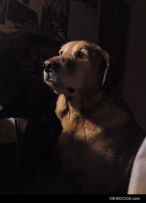 My Labrador/golden retriever, deep in thought.