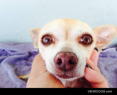 this is Rocky a chihuahua and he loves looking at the camera
