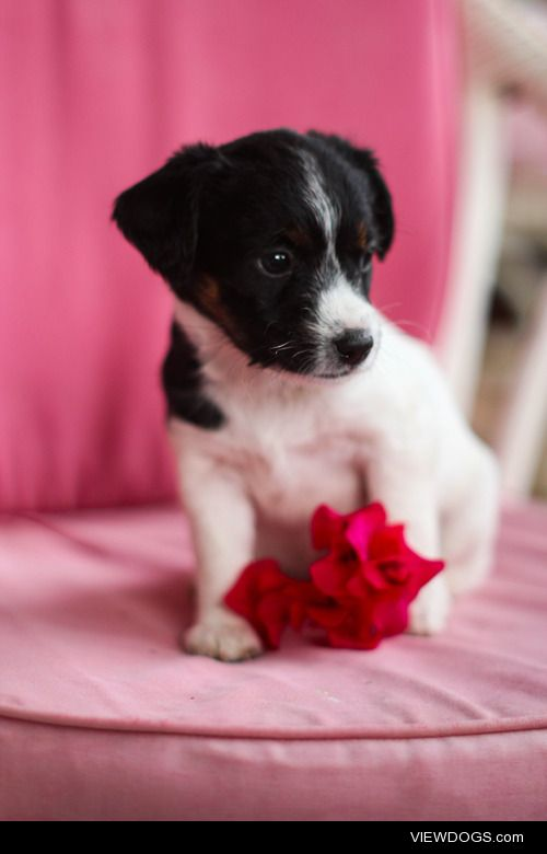 Jack Russell puppy Taken by: …