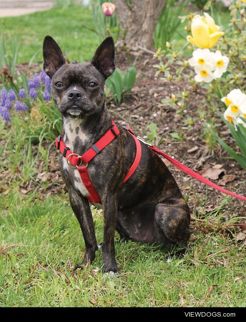 Josie, 1 year old, Boston Terrier/Chihuahua mix.