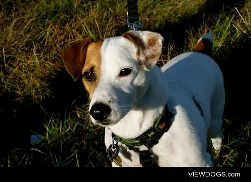 Toby the Jack Russell Terrier