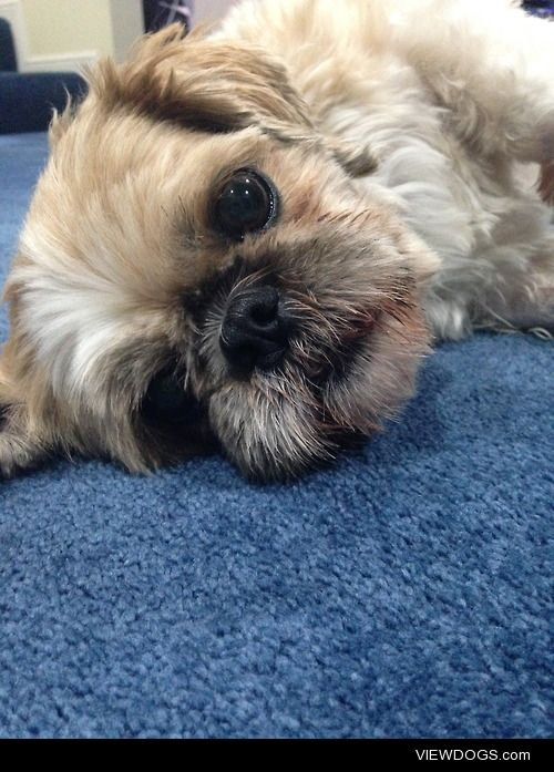 This is my 5 year old Shih-Tzu Toby!Living back in New Zealand…