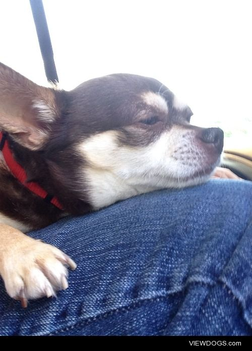 Bailey, the 8 year old spoiled apple head chihuahua.