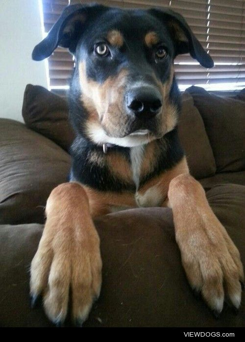 My beautiful Rottweiler/Lab mix. He's 8 month old and quickly…