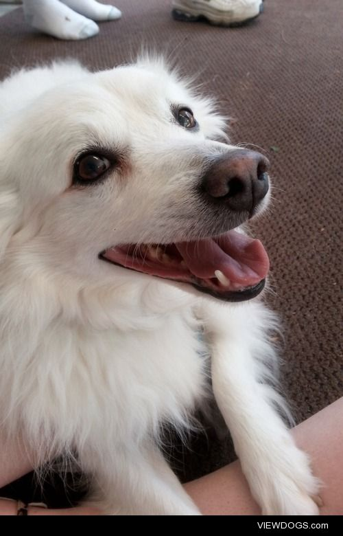 My 13 year old American Eskimo. His name is Diamond.