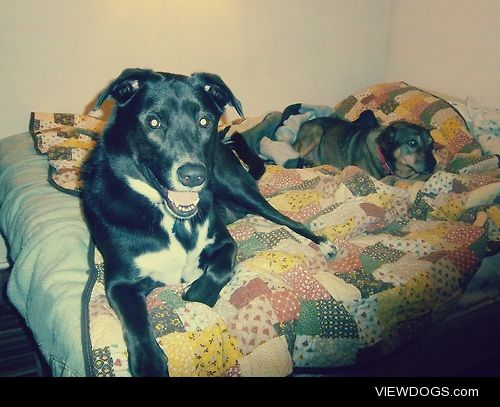 Black lab mix Abby and her friend Buster chillin' on my bed.