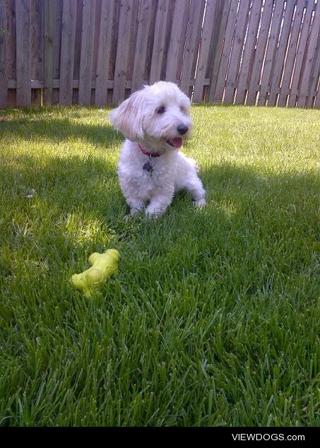 This is Watson, he will be 2 next week! Enjoying the summer…