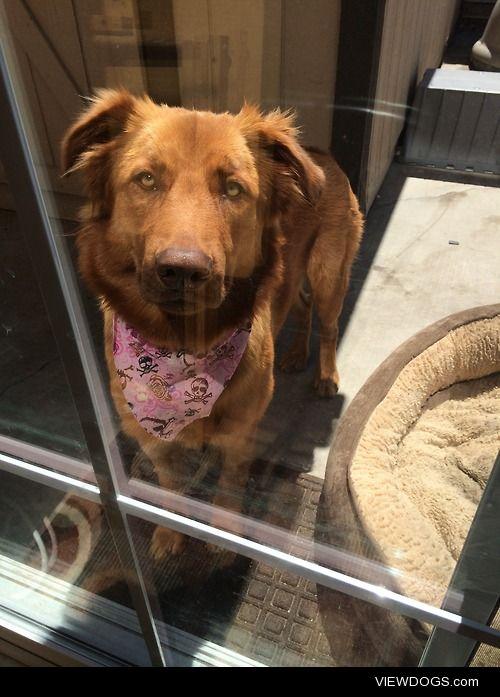 This is Sasha through the glass. She's a golden retriever mix,…