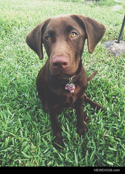 Zola, Labrador Retreiver 8 months old