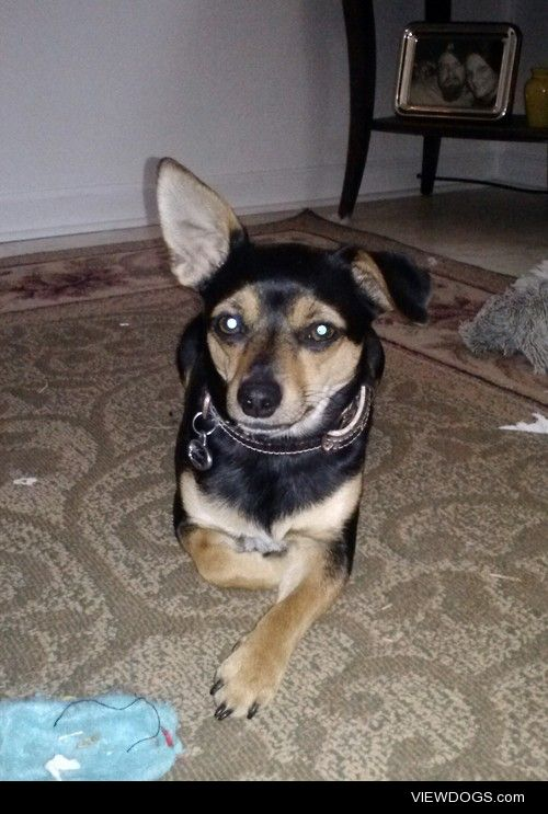 My 2yr old Chiweenie Maggie :)