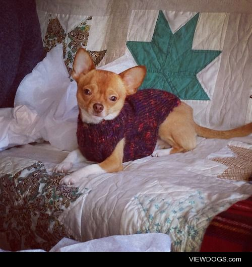 My handsome 2 year old chihuahua Tamale wearing a homemade…