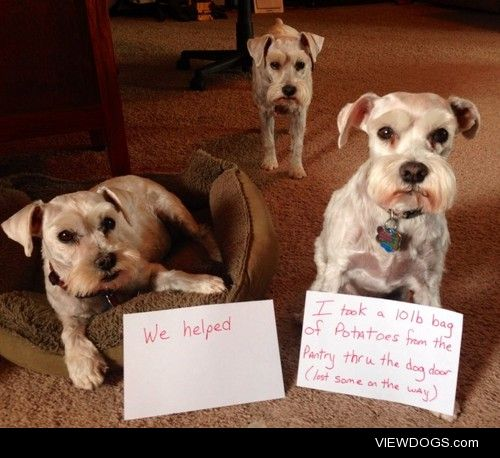 Schnauzer Posse  Potatoes left a trail through the house and out…