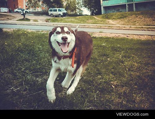 huskydogfromrussia:  Michy's happy