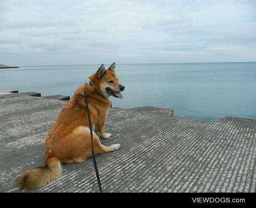 Flynn (half shiba inu, half corgi) at Lake Michigan.