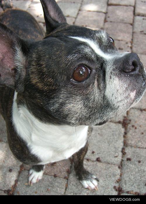 Hank, my 8 year old Boston Terrier.
