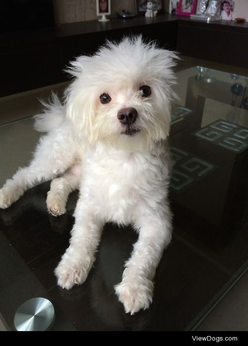 Maltese 2 year old cookie :)