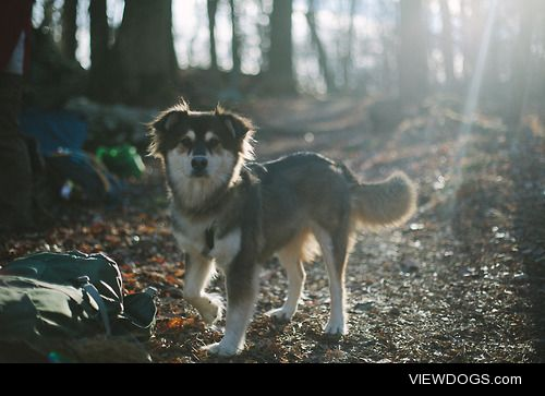 Ellie on the trail in Catoctin MD. Two-year old husky mix (photo…