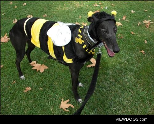My greyhound Zap's first Halloween! He liked being a bee more…