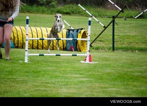 My amazing show Whippet (doing agility for a change) Finn!…