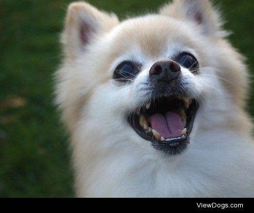 Rocky. He is a 15 year old Pomeranian who loves to smile. More…