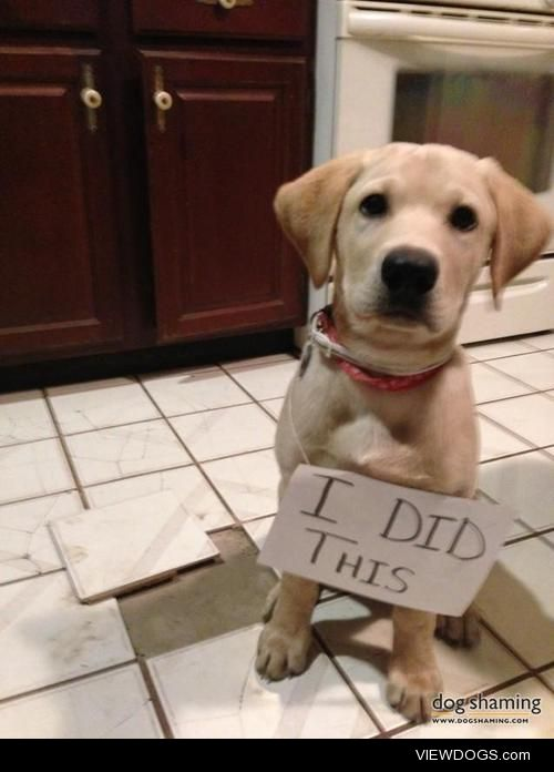 I Did This  Henry is our 3 month old yellow lab. He digs into…