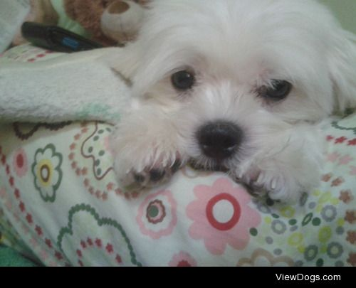 This is one of my two dogs, Sasha, a Maltese. who just turned 5….