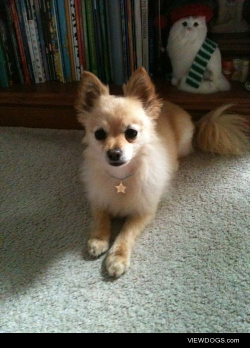 This is Honey, a 10 yr old long haired Chihuahua mix! She's not…