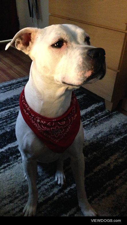 This handsome little monster is Champ, a five year old rescue….