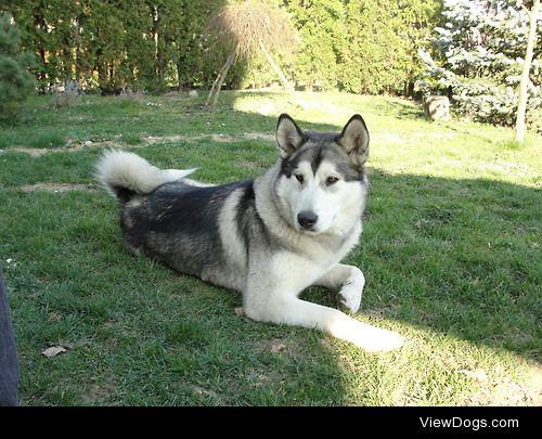 This is Freya. She's an alaskan malamute. She is a year…