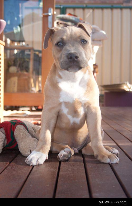 American cross English pup