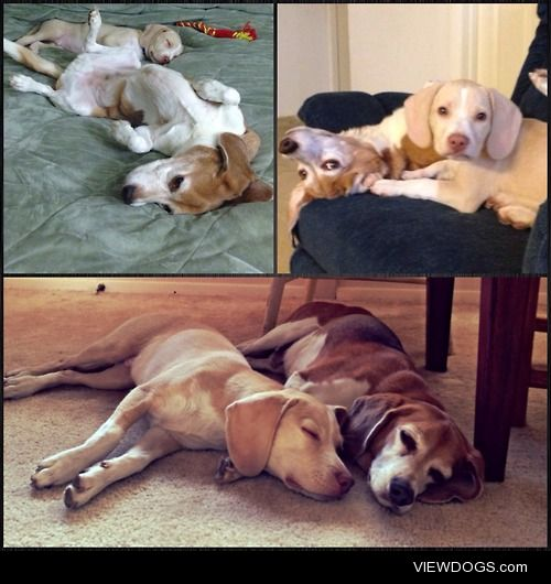 These are our boys.  From the time we added the puppy to a month…