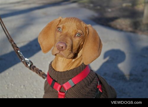 d j a n g o t h e v i z s l a . #handsomedogs
