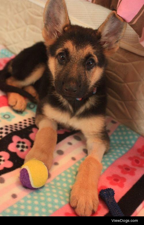 This is Luna, my 9 week old German shepherd puppy. You can…