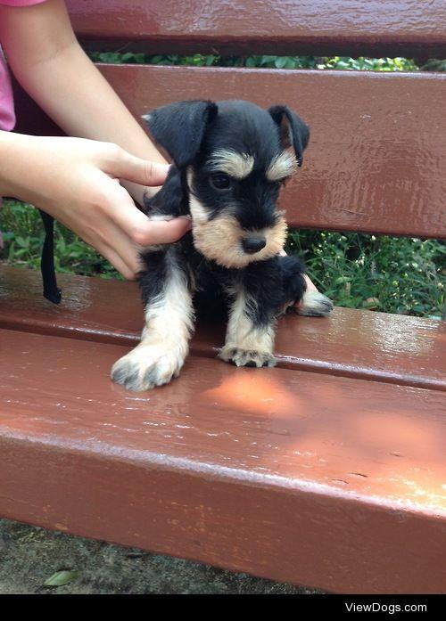 Otto, miniature schnauzer, at 8 weeks old