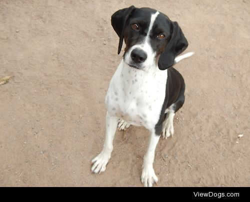 This is Brynja, my 2-year-old pointer mix me and my fiancée…